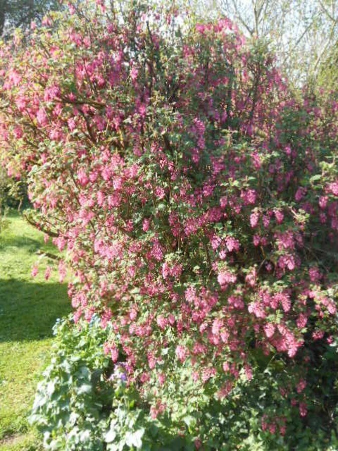 Groseilliers fleurs