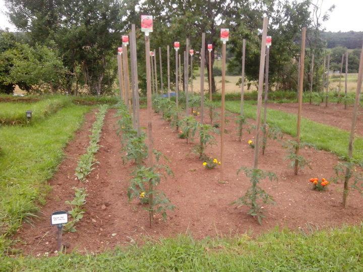 Haricots verts et tomates(grappes, st pierre, coeur de boeuf, marmande...)