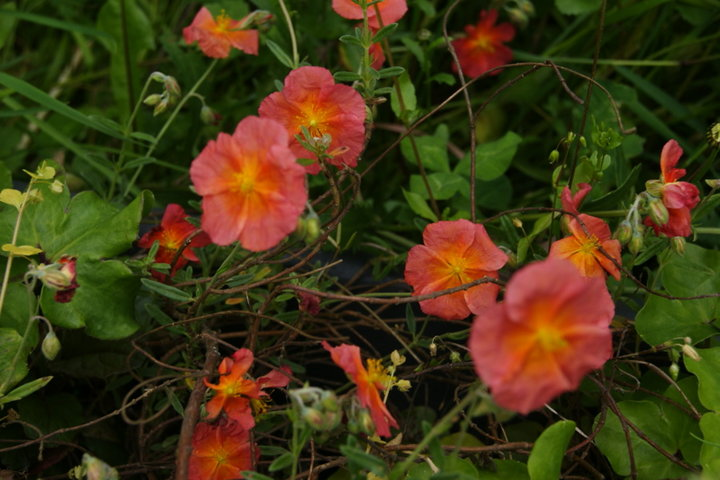 Helianthemum 'Miss Mould'