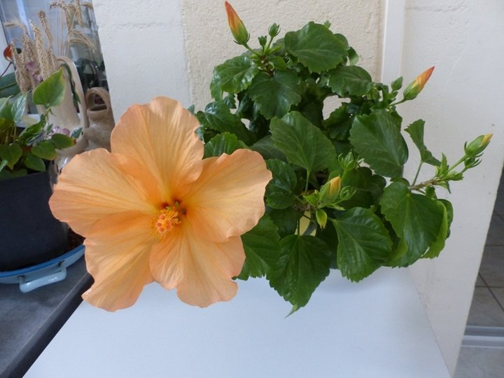 Hibiscus orange