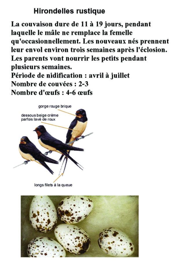 Hirondelles rustique