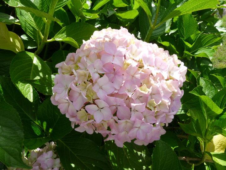 Hortensia : rose bizarre
