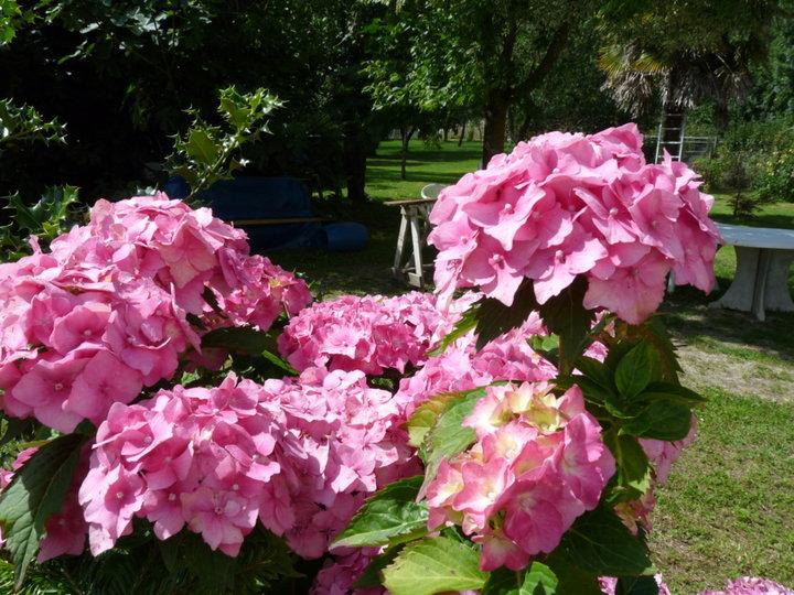 Hortensias bien roses