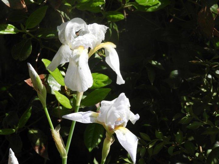 Iris bleu clair