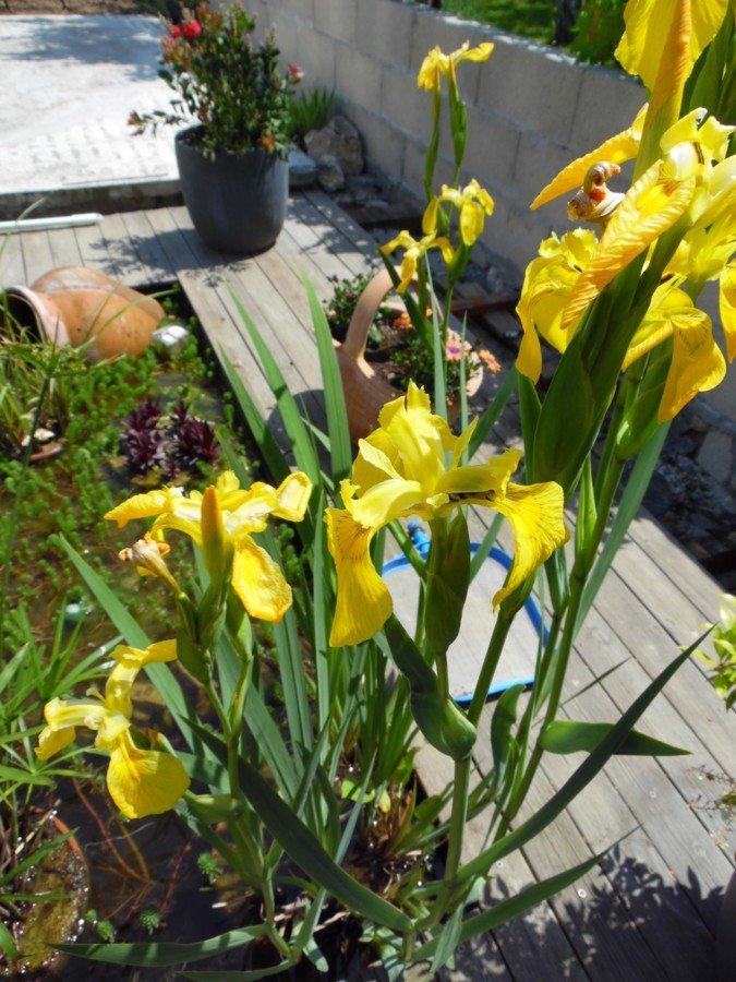 Iris.. dans le