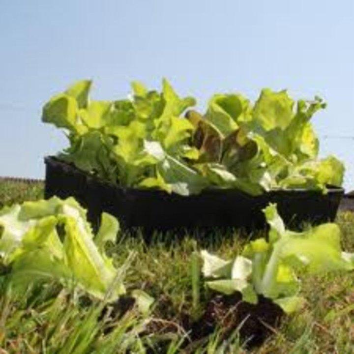 J est planter des salades.