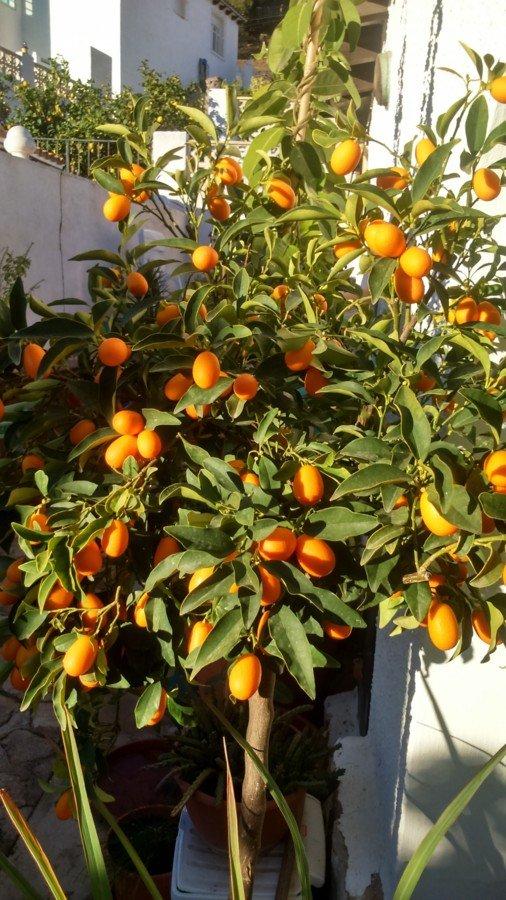 Kumquat aujourd'hui