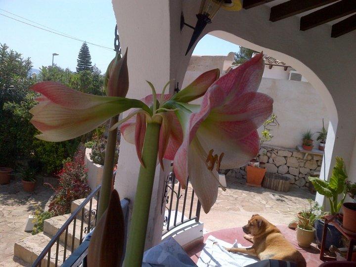 L'amarilys en fleur