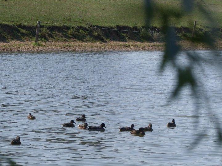 L'étang, les canards