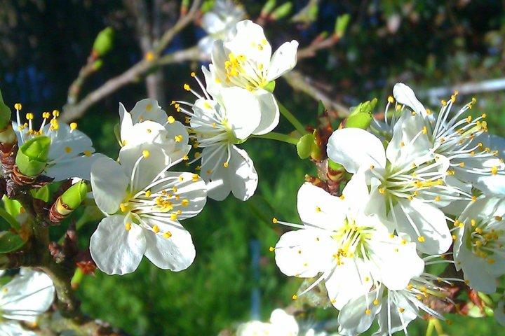 La Fleur du Mirabellier