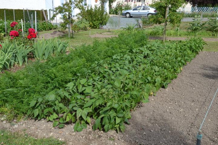 La parcelle carottes et haricots