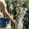 Realisation du coulis tomate