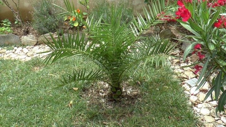 Le palmier 5 ans plus tard!