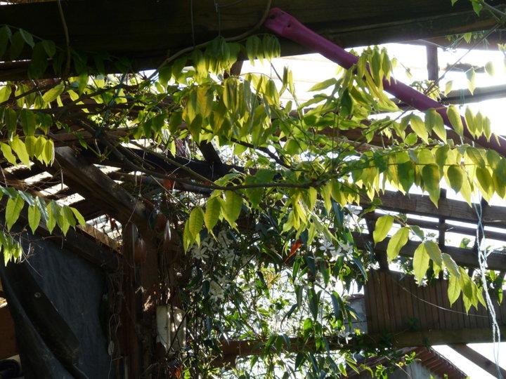 Les feuilles de la glycine