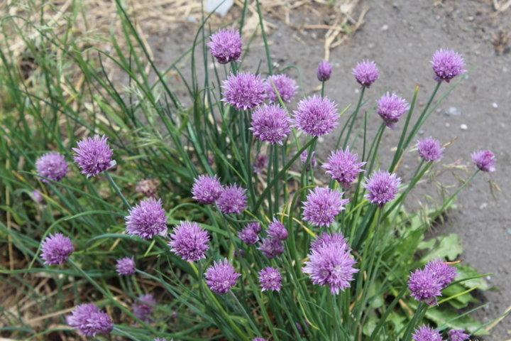 Les  fleurs  de  ciboulette