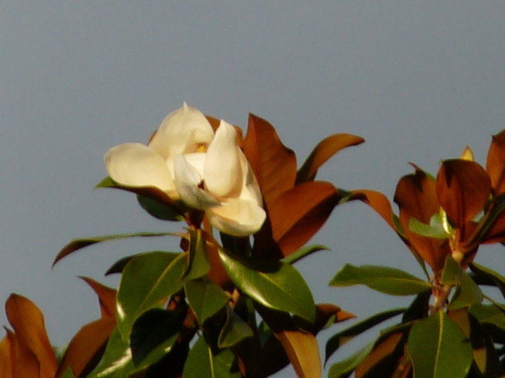 Les fleurs de magnolia