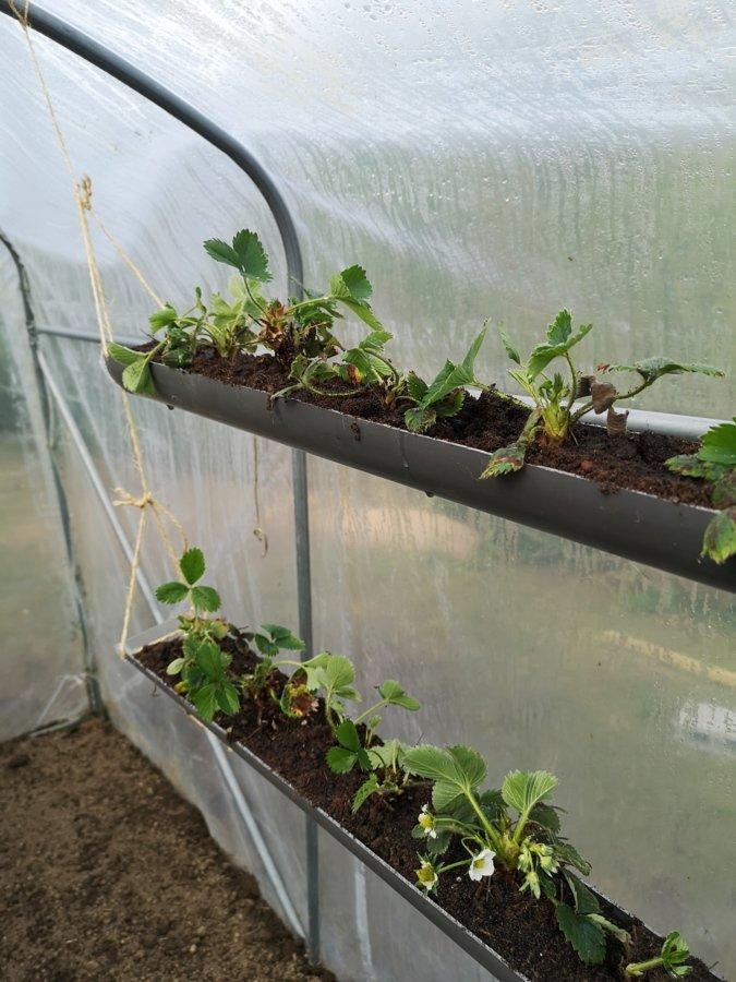 Les fraisiers une fois plantés
