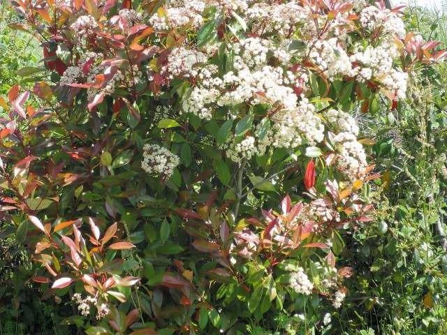 Les phrotinias en fleurs