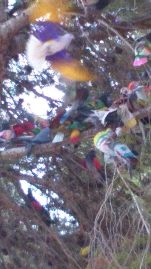 Les pigeons voyageurs en couleurs