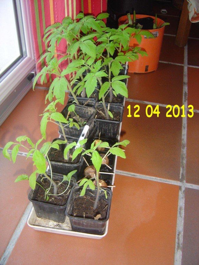 Les plas de tomates sont presque prêts