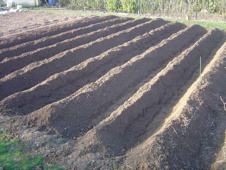 Les Pommes de terre sont plantées
