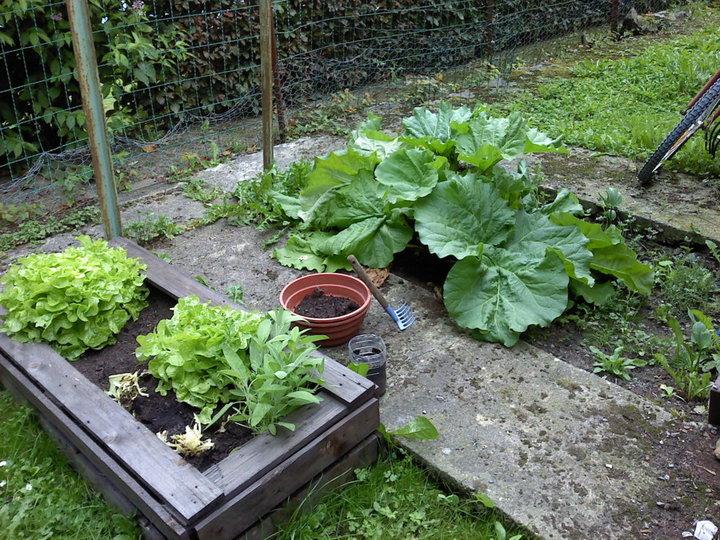 Les salades et la rhubarbe