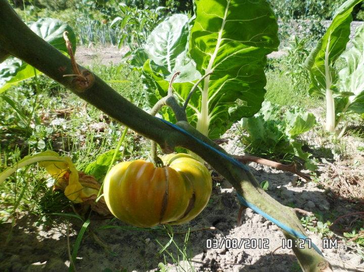 Les tomates ce matin