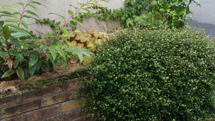 Leucothe , heuchère et plante rampante  ..(Cerise ?)