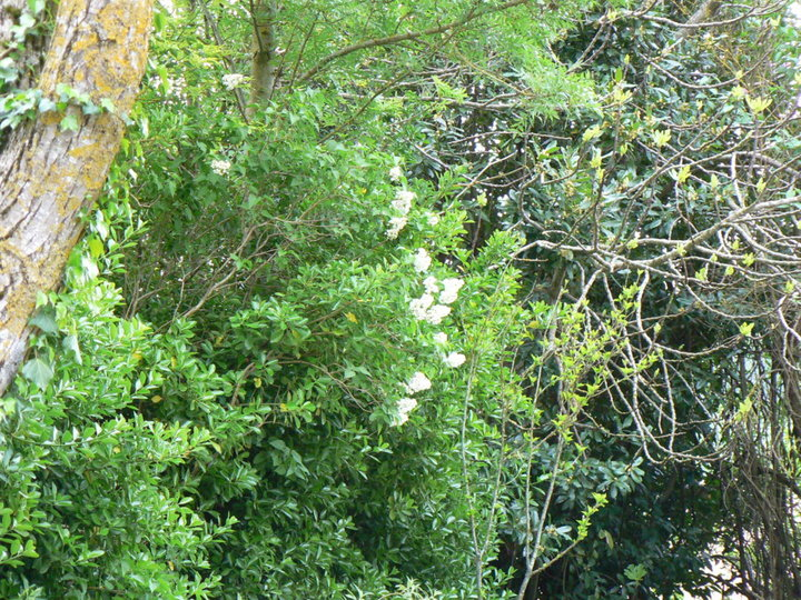 Lilas blanc.