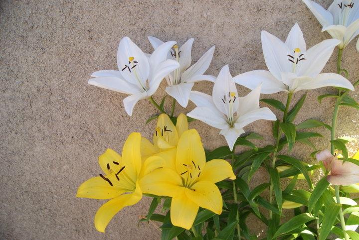 Lys planté en jardiniere