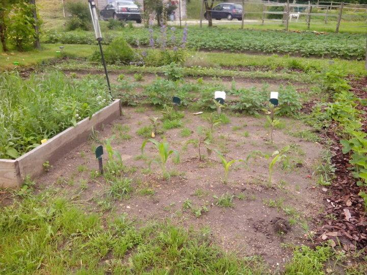 Maïs devant, aubergines derrière et quelques PDT et beaucoup beaucoup d'herbe!!! merci la pluie!!!