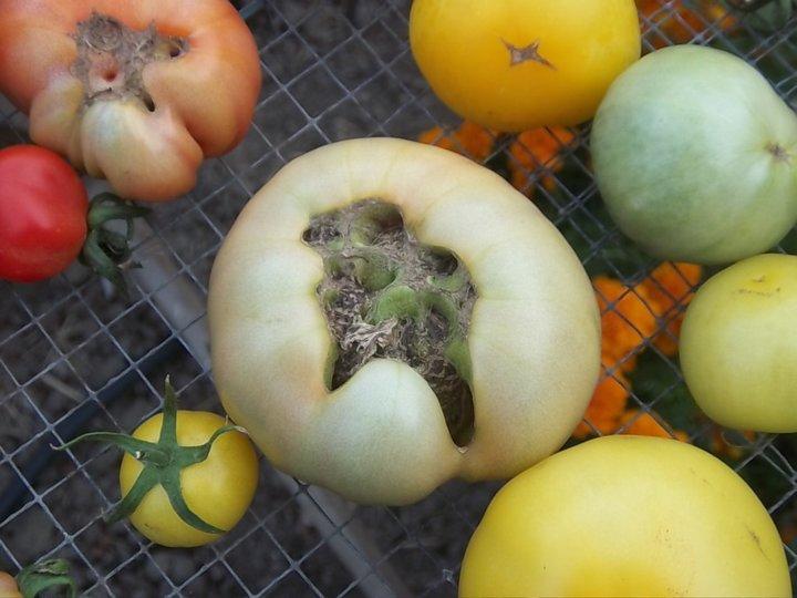 Malformation de la tomate