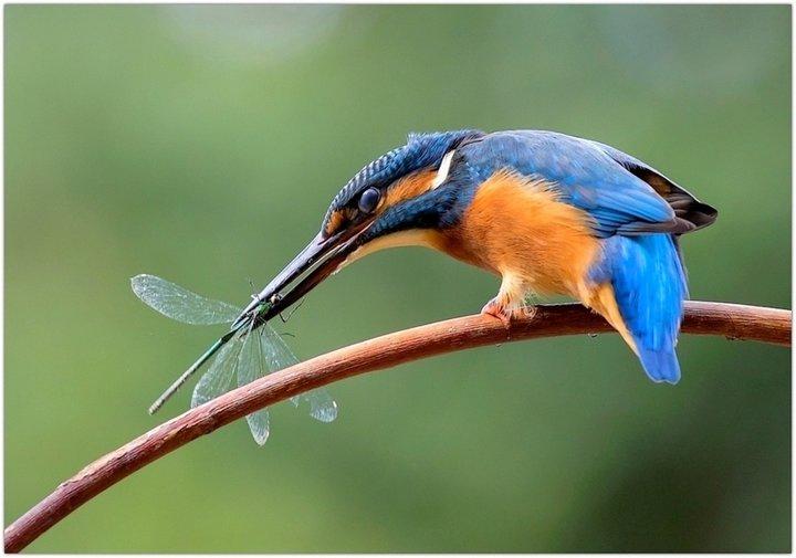 Martin pêcheur et libellule