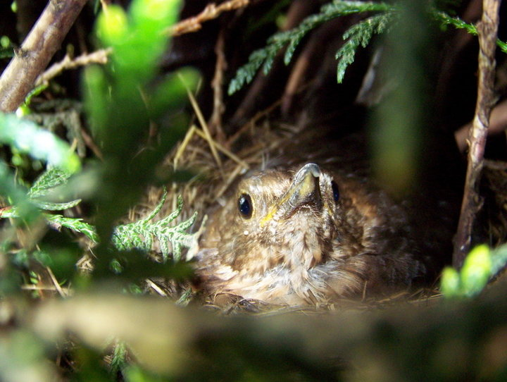 Merlette sur son nid