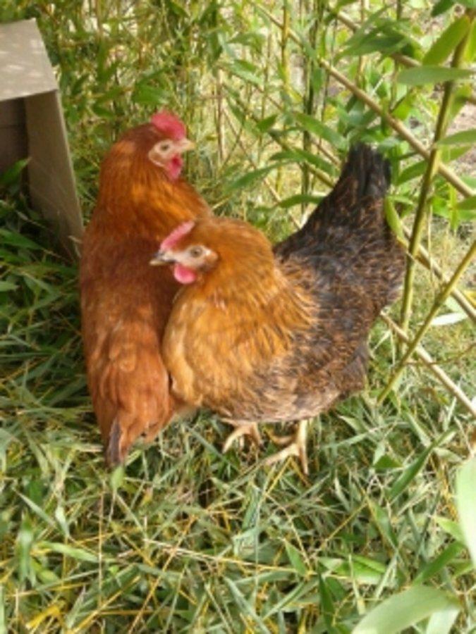 Mes poules pondeuses