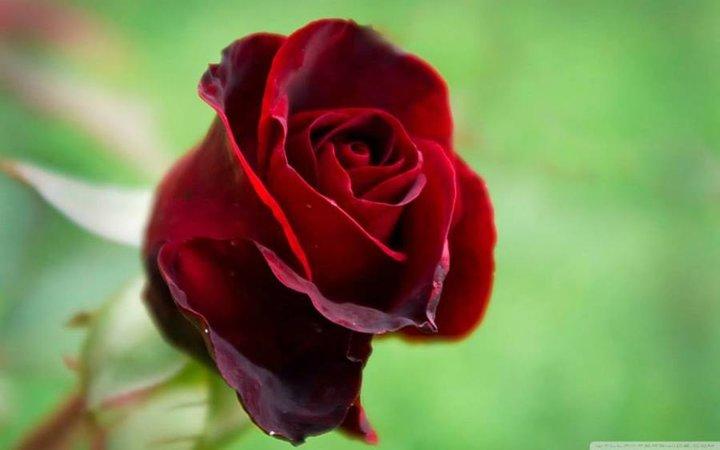 Mes premiéres roses