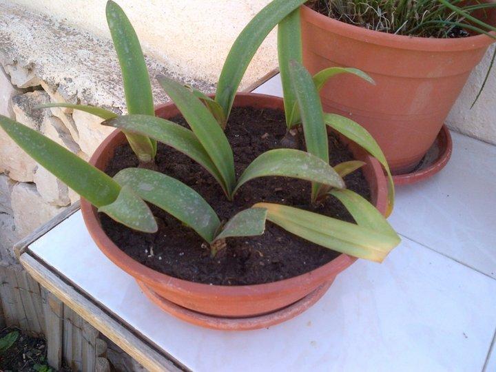 Mes semis d'amarilys de deux ans