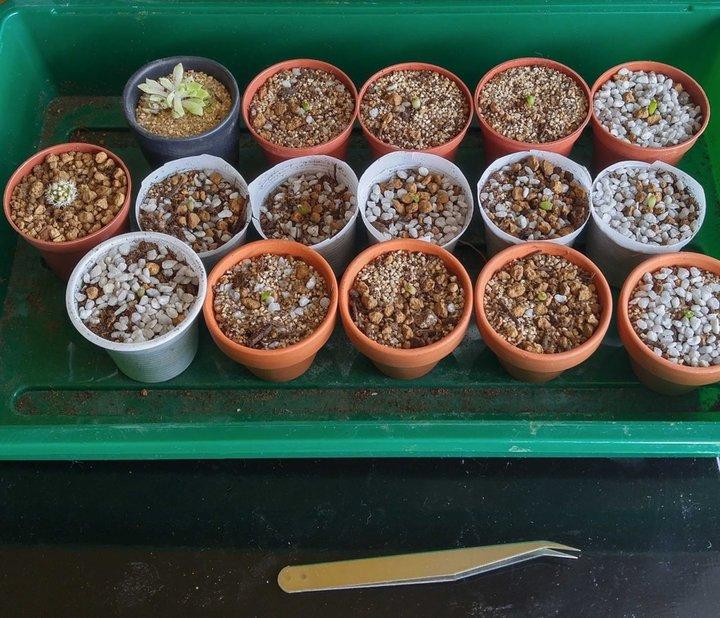 Mes semis d'astrophytum + boutures après chute...