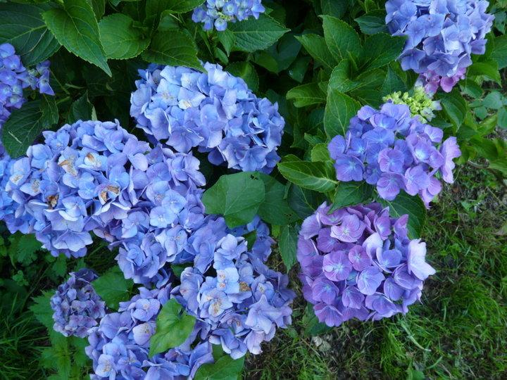 Mon hortensia bleu