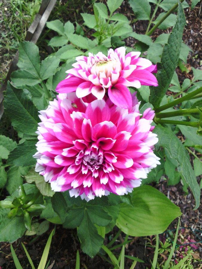 Mon jardin et mes dahlias
