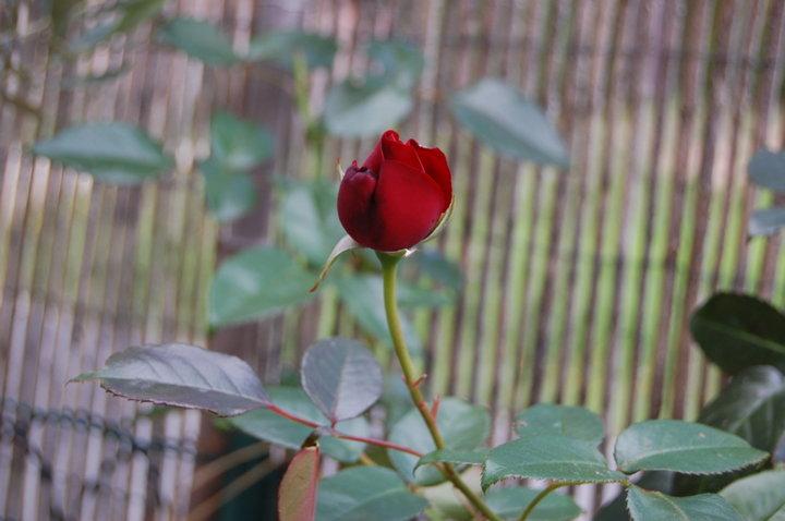 Mon rosier préféré ;