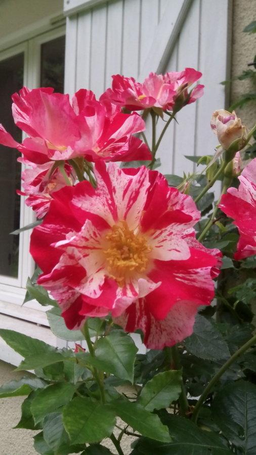 Mon rosier préféré