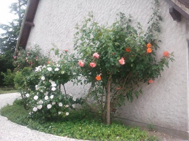 Mur de rosiers
