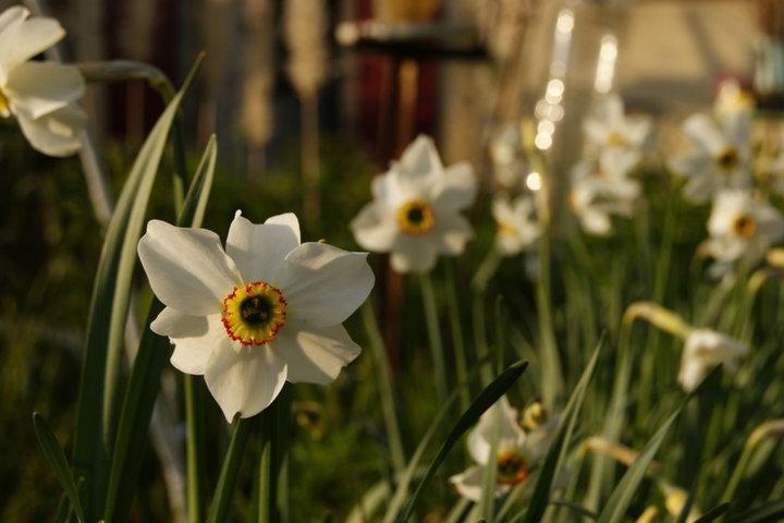 Narcice