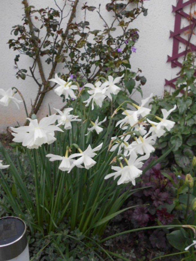 Narcisses blancs