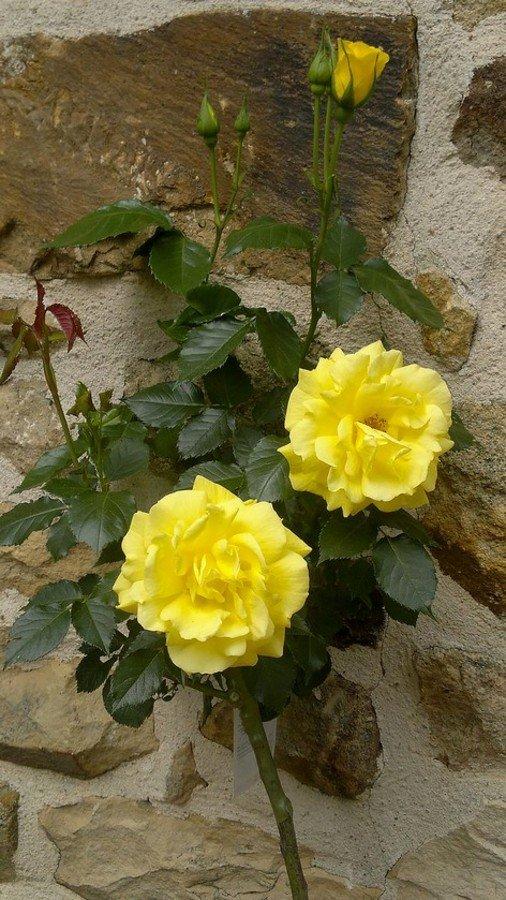 Nos premières roses