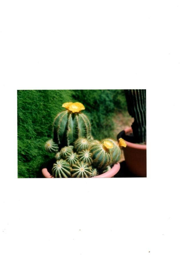 Notocactus en fleurs