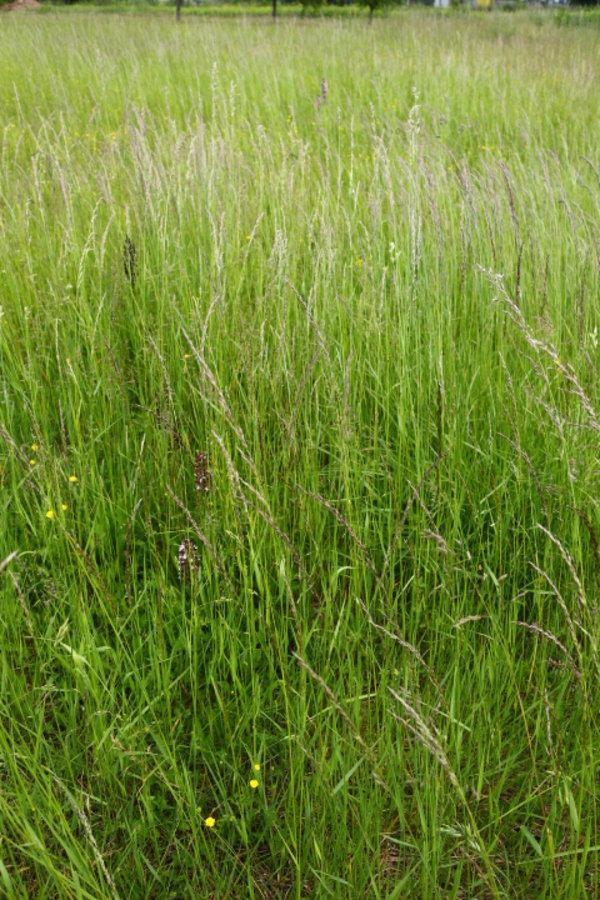 Orchidées dans les herbes