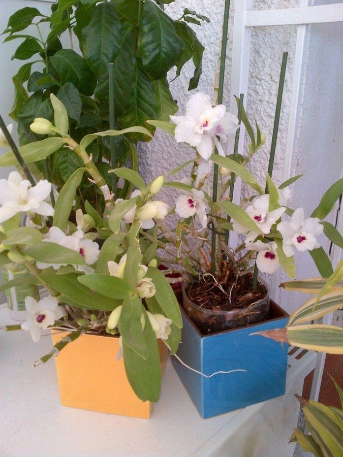 Orchidées en fleur