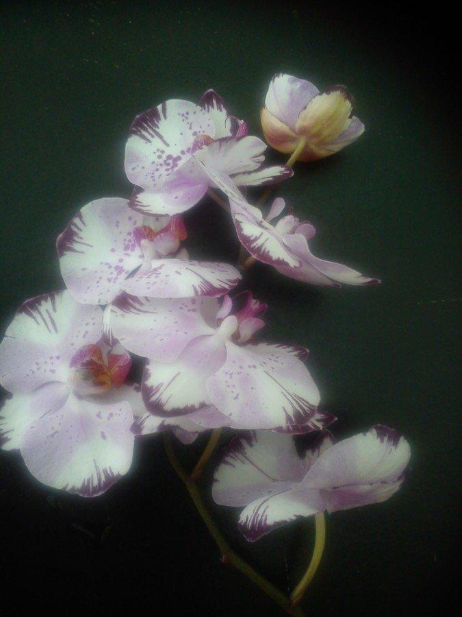 Orchidées en folie